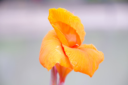 indica: Orange Canna indica flower