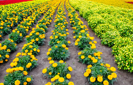 colorful flower such as marigold ,begonia etc garden photo