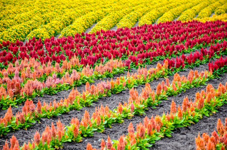 garden marigold: colorful rows of flower garden  marigold and cockscomb flower  Celosia Cristata  in garden