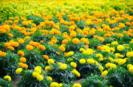 marigold meadow in garden photo