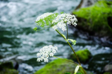 yarrow: Achillea millefolium,  yarrow  Wildflower