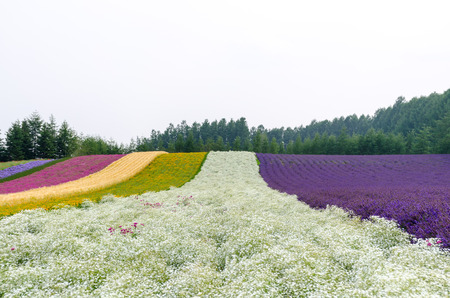 rows of colorful flower field with gypsophila in center in cloudy day