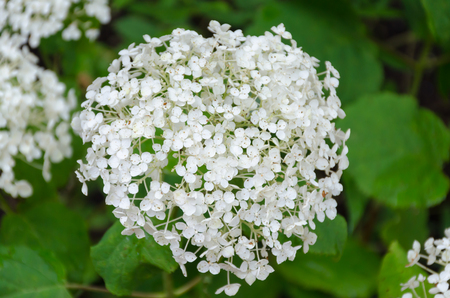 queen anne   s lace: White Bishop flower  -Queen Anne s Lace - closeup