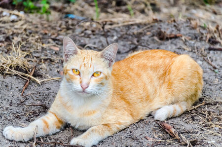 lied: American short hair cat lied on ground and see photographer