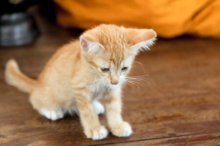 monk robe: Doubtful oragne little kitten  cat lie on wooden floor closeup near monk robe on background  in temple