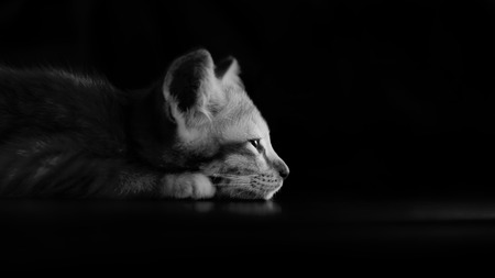 lowkey: Lazy kitten cat lie on wood ground closeup on its face black and white lowkey with spotlight  on head