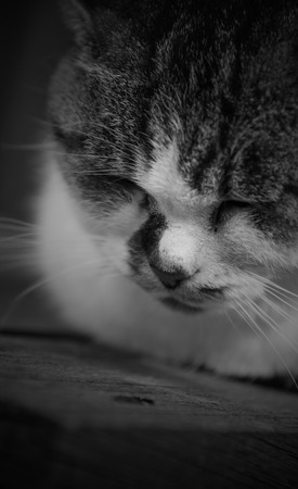 lied: Sleepy chubby pussy cat lied on the wooden closeup on its head black and white