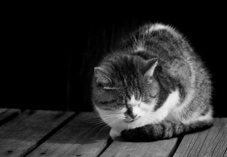 lied: Sleepy chubby pussy cat lied on the wooden ground black and white  lowkey
