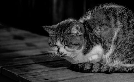 lied: Sleepy chubby pussy cat lied on the wooden ground  black and white highkey
