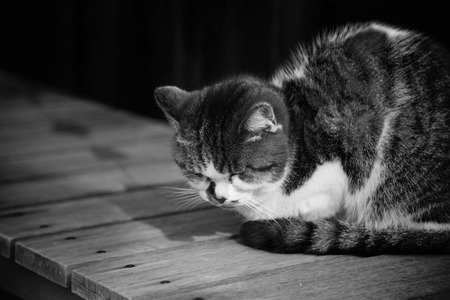 lied: Sleepy chubby pussy cat lied on the wooden ground around outdoor of village black and white Stock Photo