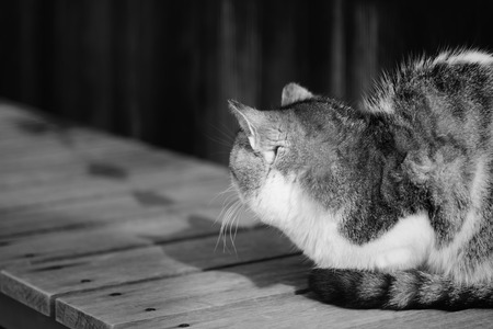 ignore: Old chubby cat look back and ignore photographer black and white high key