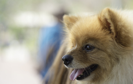 face side: Pomeranian dog closeup with smile face side view