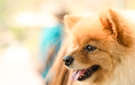 face side: Pomeranian dog closeup with smile face side view  yellow light tone