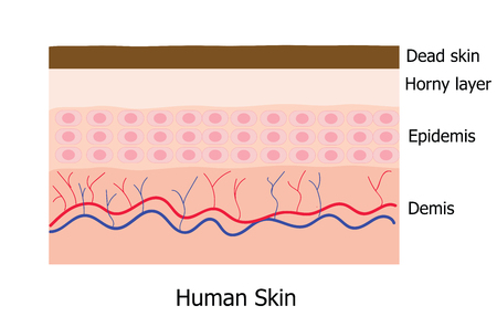 Human skin layer consists of  dead skin , horny layer, Epidemis and Demis  infographic