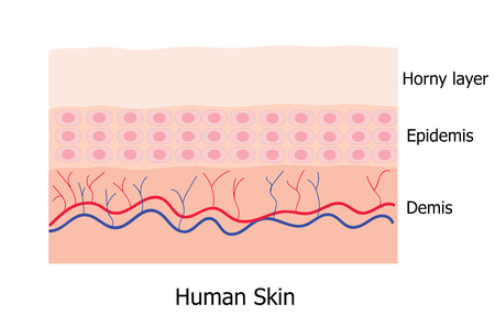 subcutaneous: Human skin layer consists of horny layer, Epidemis and Demis  infographic Illustration