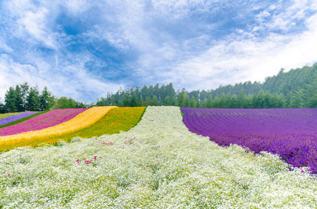Colorful flower field with gypsophila in center in blue cloudy sky in Hokkaido , Japan