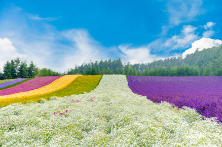 Flower field with gypsophila in center with beautiful sky in Hokkaido, Japan