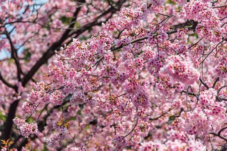 Sakura (Cherry Blossom)  blooming with bird in spring around Ueno Park in Tokyo , Japan