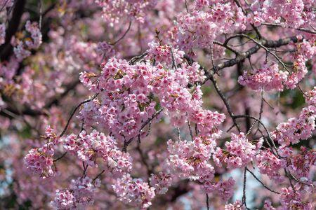 Sakura (Cherry Blossom)  blooming in spring around Ueno Park in Tokyo , Japan