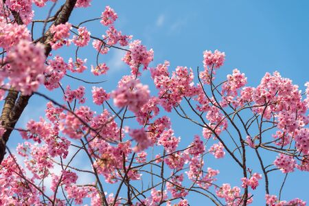 Sakura (Cherry Blossom) che fiorisce con il cielo blu in primavera intorno al Parco di Ueno a Tokyo , Japan