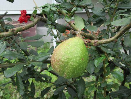 マルメロの果実