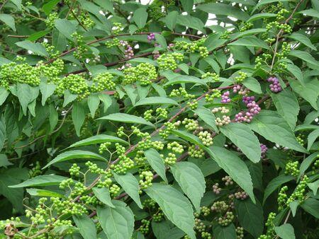 beforehand: Beforehand Komurasaki fruit Stock Photo