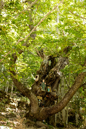 devote: old chestnut tree with religious images inside the forest close to Santa Cristina monastery in Rivera Sacra do Sil. Spain