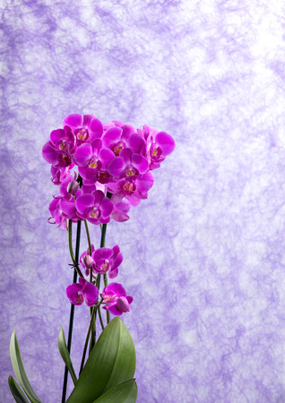 purple orchids corsage with vibrant colors. soft violet as background and free space for text Stock Photo