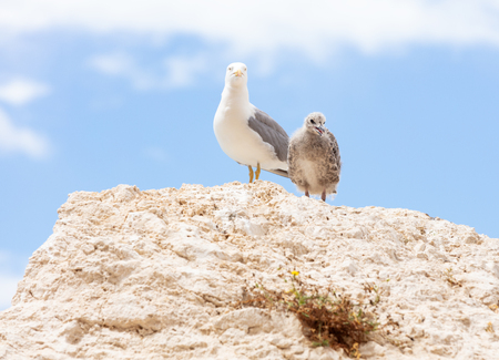 a watchful seagull with her chick on top of a rock in the breeding season Stock Photo