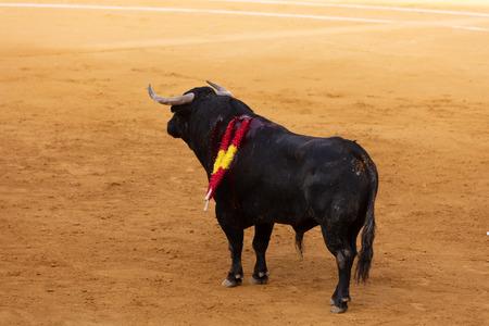 Bull bleeding after having nailed the banderillas in a Spanish bullring festival