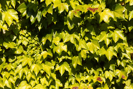 background of green leaves illuminated by the sun, have some reddish hue Stock fotó