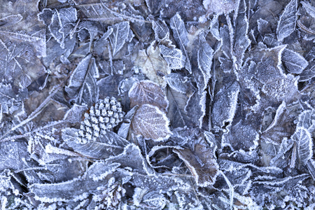 background of dried frozen leaves on the forest floor at sunrise on a winter morning, photo with blue and brown tones.