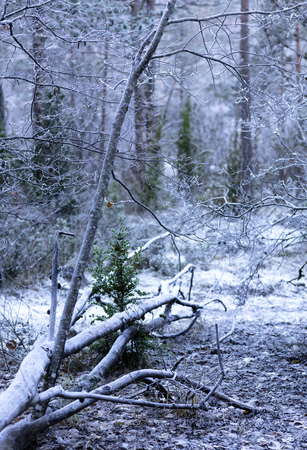young forest with frozen ground on a cold winter morning with a fallen tree