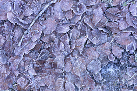 background of dried frozen leaves on the forest floor at sunrise on a winter morning, photo with brown tones.