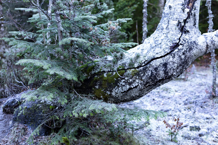 young tree next to an old trunk covered by ice, in the background the frozen forest 免版税图像