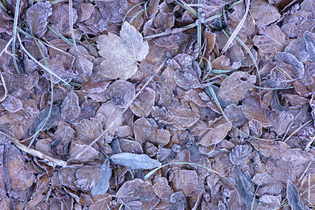 background of dried frozen leaves on the forest floor at sunrise on a winter morning, photo with yellow and brown tones.