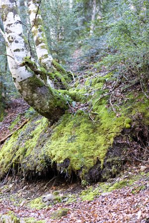 ground covered in green moss and brown color of fallen leaves, the picture has a bluish winter tone