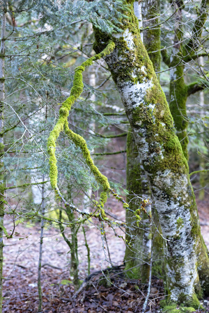 tree covered in green moss, the ground has the brown color of fallen leaves, the picture has a bluish winter tone 免版税图像