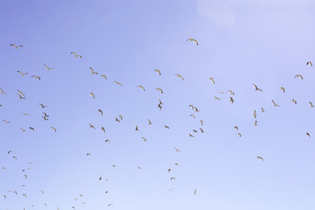 seagulls, with wings in defferent positions, flying in a clear blue sky without clouds
