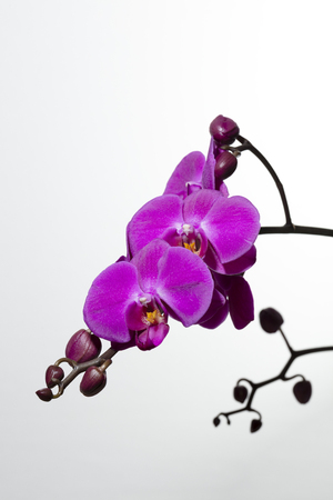 branch of purple orchids and buds on white background, free space for text