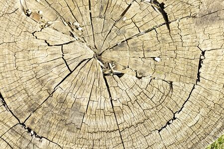 trunk of large tree cut with aged and cracked wood