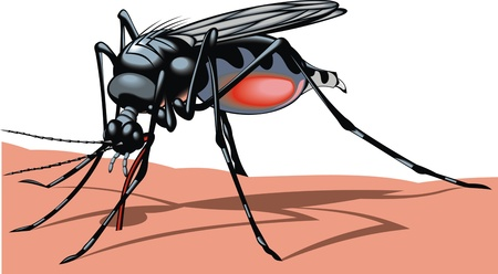 mosquito illustrated in detail on the white background Vector
