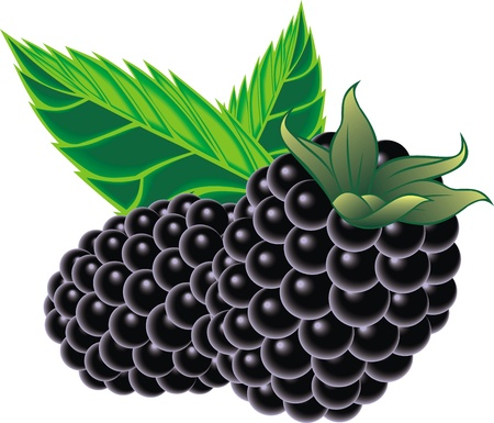 blackberries isolated on the white background
