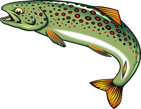 illustrated nice tout  fish  isolated on white background