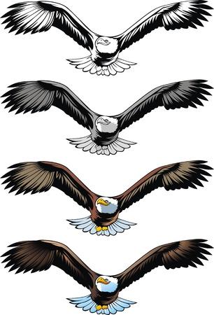 aigle: bel aigle volant sur le fond blanc