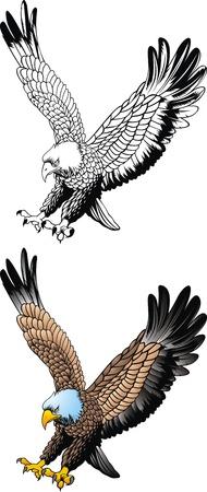 black hawk: nice flying eagle on the white background