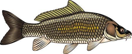 common carp: nice fish carp isolated on white background