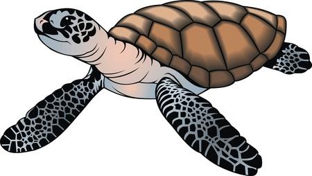 green turtle: bella piccola tartaruga isolato su sfondo bianco Vettoriali