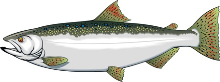 illustrated nice trout isolated on white background Vector