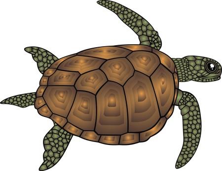 turtle isolated: tortuga de agua aislado en el fondo blanco